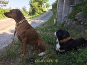 Hundehalsband-mit-Ohrtunnel-in-Gold-Leo-und-Attila