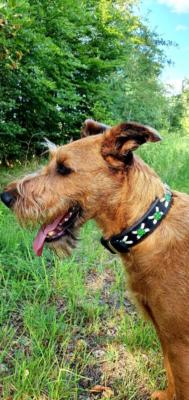 Irish Terrier Tyson 3