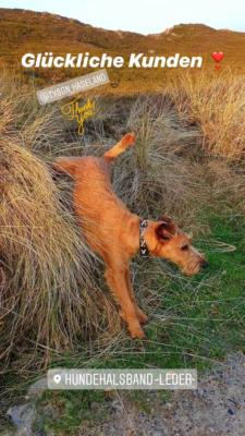 Irish Terrier Tyson 5