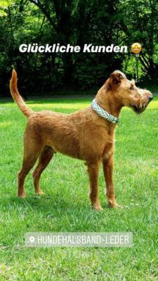 Irish Terrier Tyson 6
