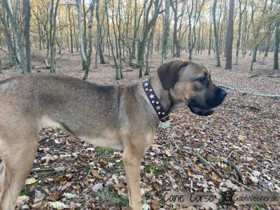 Lederhalsband-zum-Mitwachsen-für-große-Hunde-Cane-Corso