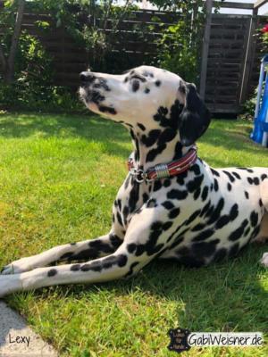 Luxus-Hundehalsband-Leder-in-Rot-Dalmatiner-Lexy-2