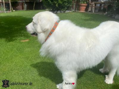 Zugstopp-Hundehalsband-große-Hunde-Pyrenäenberghund-Aurora-