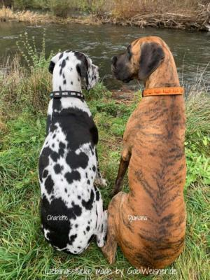 deutsche-Dogge,-Charlotte-und-Djumana