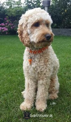 hundehalsband-Pudel-leder-orange-lotte