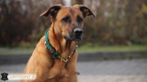 hundehalsband-grün-mila